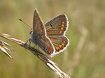 Brown Argus (Aricia agestis)
